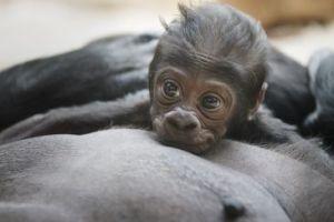 El bebé gorila de Praga, una monada muy humana