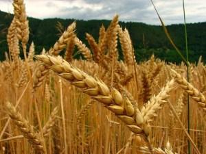 Científicos desarrollaron nuevo tipo de trigo
