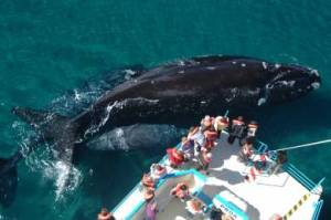 Se acerca el lanzamiento de la temporada de ballenas