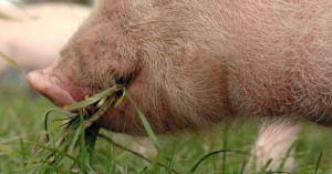 Granjero da marihuana a sus cerdos para mejorar el sabor