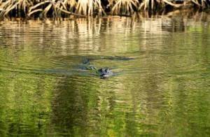 Ladrón escondido en laguna de Florida muere atacado por caimán