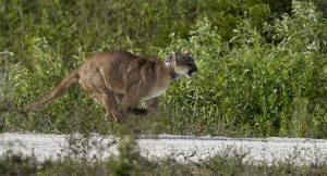 Aumentan las muertes de panteras de la Florida por arrollamiento