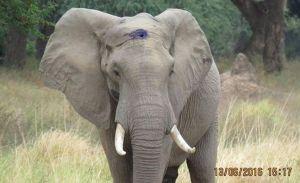 """Elefante destruyó la pared de una casa para """"saquear"""" la cocina (VIDEO)"""