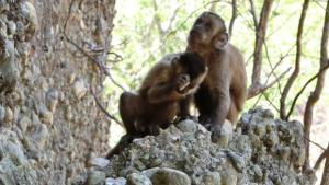 Monos infectados con coronavirus desarrollaron inmunidad a corto plazo