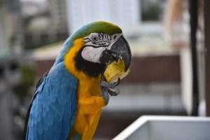 ¡Quién fuera guacamayo! Caraqueña halló una simpática forma de alimentar a sus amigos (Video+Piquito)