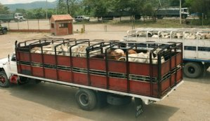 Productores agropecuarios de Barinas no enviarán alimentos a Caracas (Video)