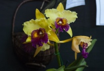 La Fundación Cultivadores de Orquídeas expone de nuevo en Caracas