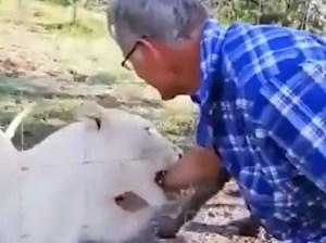 EN VIDEO: Le dijeron que no acariciara al león… pero igual lo hizo y casi pierde la mano
