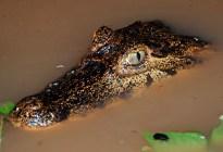 """VIDEO: Un caimán """"desafía"""" a una anaconda en un duelo de vida o muerte"""