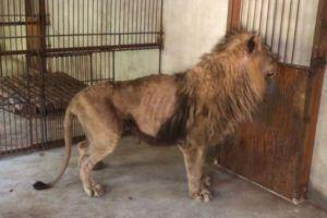 ¿Odian a los animales? Leones desnutridos en China nos recuerdan al Zoológico de Caricuao (Fotos)