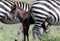 Un nacimiento fuera de lo común: La cebra bebé que tiene puntos en lugar de rayas (FOTOS)
