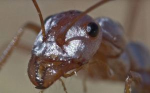 La increíble velocidad que puede alcanzar la hormiga más rápida del mundo