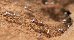 En el Sahara encontraron la hormiga más rápidas del mundo