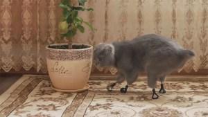 Gatito en apuros recibió cuatro prótesis biónicas para sus patitas (Fotos + Awww)