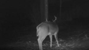 Captan extraño momento en que un ciervo mudó su cornamenta (VIDEO)