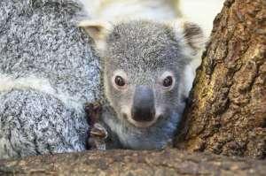 Zoo Miami celebra el nacimiento del bebé koala