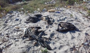 Alertaron sobre la muerte de pelícanos en las playas de Puerto La Cruz (Fotos)