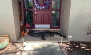 VIRAL: Una familia se encontró un caimán sin dos extremidades en la puerta de su casa en Florida