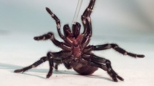 Captan a una araña gigante devorando un reptil (VIDEO)