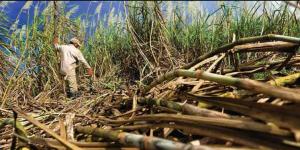 Régimen asfixia a cañicultores de Carabobo al reducir la producción de azúcar a 20%