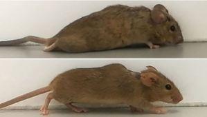 Científicos alemanes lograron que ratones con paraplejia volvieran a caminar